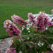 Gatsby Pink® Oakleaf Hydrangea Alternate Image 2