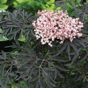 Sambucus Black Lace® image