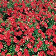 Avalanche Red Improved Hybrid Petunia Flower Seeds