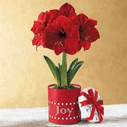 Single Red Amaryllis in Joy Gift Box