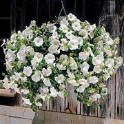 Avalanche White Hybrid Petunia Flower Seeds