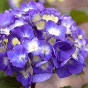 Endless Summer® BloomStruck® Hydrangea Alternate Image 1