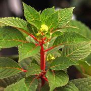 Endless Summer® BloomStruck® Hydrangea Alternate Image 2
