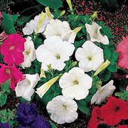 Celebrity White Petunia Flower Seeds