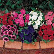 Celebrity Mix Petunia Flower Seeds