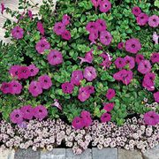 Avalanche Grape Hybrid Petunia Flower Seeds