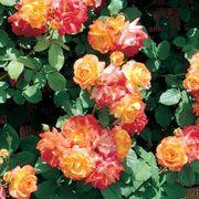 Pinata Climbing Rose