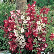 Esprit Mix Penstemon Flower Seeds