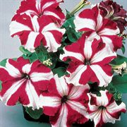 Ultra Crimson Star Petunia Flower Seeds
