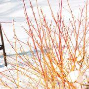Cornus sanguinea Arctic Sun™ image