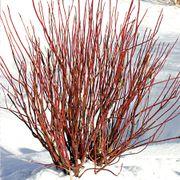 Arctic Fire™ Dogwood
