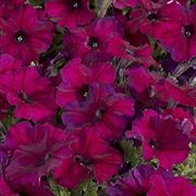Celebrity Burgunday Petunia Flower Seeds