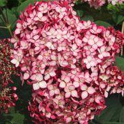 Hydrangea Invincibelle® Ruby Thumb