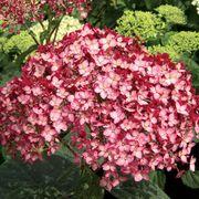 Hydrangea Invincibelle® Ruby Alternate Image 1