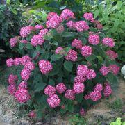 Hydrangea Invincibelle® Ruby Alternate Image 2