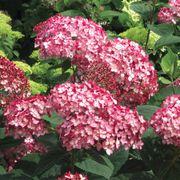 Hydrangea Invincibelle® Ruby Alternate Image 3