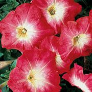 Celebrity Red Morn Hybrid Petunia Flower Seeds
