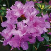 Rhododendron Abbeys Re-View