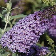 Buzz™ Sky Blue Butterfly Bush image