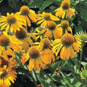 Golden Skipper Coneflower