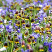 Fritillaria Anemone Fairy Tale Blend Alternate Image 1