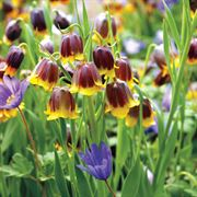 Fritillaria Anemone Fairy Tale Blend image