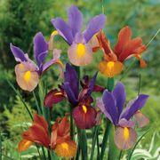 Iris Tiger Mix