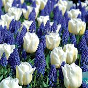 Tulip Muscari Mix