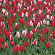 Tulip Perennial Delight Mix