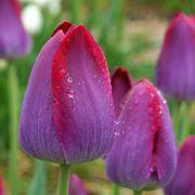 Tulip Pittsburgh Triumph Alternate Image 2