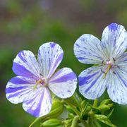 Geranium 'Delft Blue' Alternate Image 1