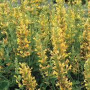 Kudos™ 'Kudos Yellow' Hummingbird Mint image