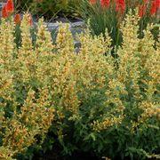 Kudos™ 'Kudos Yellow' Hummingbird Mint Alternate Image 1