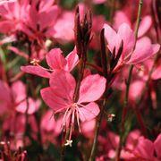 Dark Pink Belleza™ image