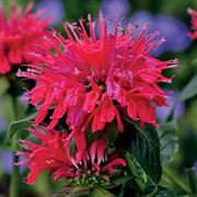 Monarda Sugar Buzz® Cherry Pops