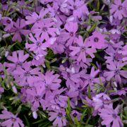 Purple Beauty Phlox Alternate Image 1