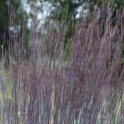 Blue Paradise Little Bluestem