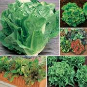 Best Lettuce Collection