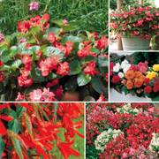 Top Begonia Seed Collection Thumb