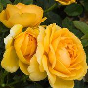 Soaring to Glory Floribunda Rose