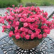 Rosebud Dianthus Alternate Image 1
