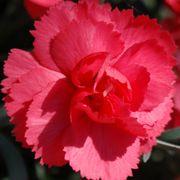 Rosebud Dianthus Alternate Image 2
