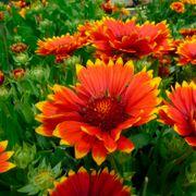 Sunset Flash Blanket Flower