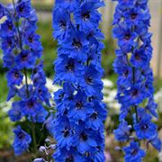 Delphinium Million Dollar Blue
