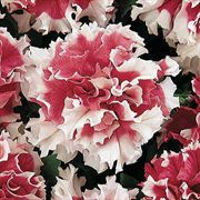 Pirouette Red Petunia Flower Seeds