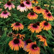 Echinacea Butterfly™ Rainbow Marcella Alternate Image 1