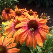 Echinacea Butterfly™ Rainbow Marcella Alternate Image 2