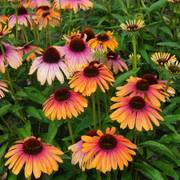 Echinacea Butterfly™ Rainbow Marcella Alternate Image 3