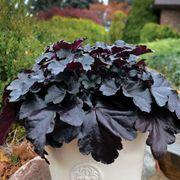 Primo™ Black Pearl Coral Bells image