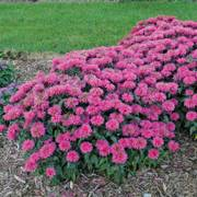 Monarda Sugar Buzz® Bubblegum Blast